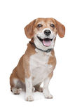 Mixed breed dog Royalty Free Stock Images