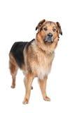 Mixed breed dog. Dutch Shepherd,Dogue de Bordeaux Stock Image