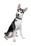 Mixed breed dog. Mixed breed, American Indian Dog, husky puppy Stock Photography