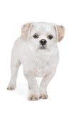 Mixed breed dog. Maltese, Shih Tzu Stock Photography