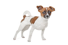 Mixed breed dog. Chihuahua and Jack Russel Terrier mix Royalty Free Stock Photo