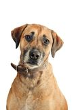 Mixed-breed dog Royalty Free Stock Photography