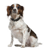 Mixed breed dog, 3 years old, sitting Stock Image