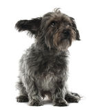 Mixed-breed dog, 3 years old, sitting. And looking away against white background Royalty Free Stock Images