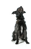 Mixed breed dog. Looking up isolated on white background Royalty Free Stock Photos