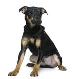 Mixed-breed dog, 4 months old, sitting Royalty Free Stock Photo