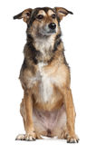 Mixed-breed dog, 4 years old, sitting Royalty Free Stock Image