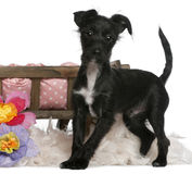 Mixed-breed dog, 5 months old, standing Stock Photos