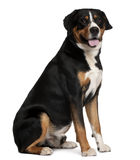 Mixed-breed dog, 5 years old, sitting Stock Photo