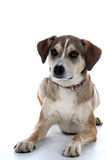 Mixed breed dog. Cute mixed breed dog sitting against a white background Royalty Free Stock Photo