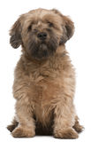 Mixed-breed dog, 6 years old, sitting Royalty Free Stock Photos