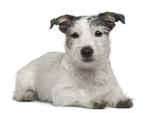 Mixed-breed dog, 7 months old Royalty Free Stock Images