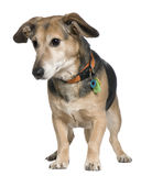 Mixed-breed dog, 7 years old, standing Stock Image