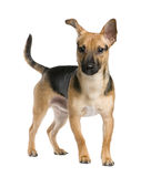 Mixed-Breed Dog Stock Photo
