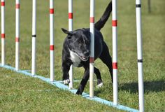 Mixed-Breed Dog at Agility Trial Stock Photos
