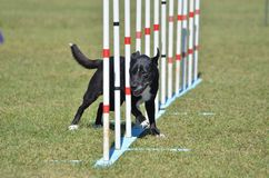 Mixed-Breed Dog at Agility Trial Royalty Free Stock Photo