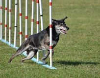 Mixed-Breed Dog at Agility Trial Stock Photo