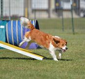 Mixed-Breed Dog at Agility Trial Stock Photography