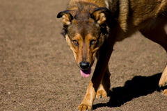Mixed breed dog with amber eyes. Mixed breed brown large dog with amber eyes walking toward camera in midday sun Royalty Free Stock Photo