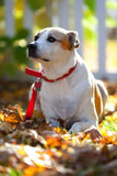 Mixed Breed Dog at Attention Royalty Free Stock Photography