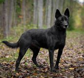 Mixed breed dog in the autumn forest Stock Photos