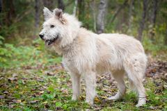 Mixed breed dog in the autumn forest Stock Images