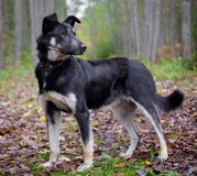 Mixed breed dog in the autumn forest Royalty Free Stock Images