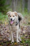 Mixed breed dog in the autumn forest Royalty Free Stock Photography