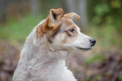 Mixed breed dog in the autumn forest Stock Photography