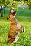 Mixed breed dog balancing ball on nose Stock Photos