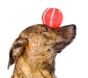Mixed breed dog balancing ball on nose. isolated Royalty Free Stock Photo