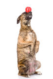 Mixed breed dog balancing ball on nose.  on white. Background Stock Photo