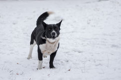 Mixed breed dog barking on a winter street ready to defend its territory. Black, stocky, mixed breed dog barking on a winter street ready to defend its territory Royalty Free Stock Photo