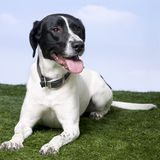 Mixed-Breed Dog between a beagle and a labrador Stock Photos