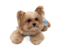 Mixed Breed Dog in Blue Dress Royalty Free Stock Photo