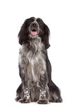 Mixed breed dog.border collie, cocker spaniel. In front of white Stock Photo