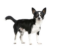 Mixed-Breed Dog with a chihuahua Stock Photo