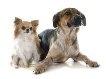 Mixed-Breed Dog and chihuahua Royalty Free Stock Photo