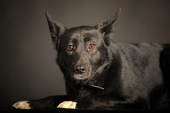 Mixed-breed dog Royalty Free Stock Image