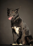 Mixed-breed dog Stock Image