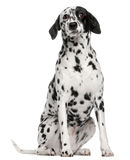 Mixed breed dog with a Dalmatian. 2 years old, sitting in front of white background Royalty Free Stock Photos
