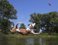 Mixed breed dog diving into a pond Stock Photos