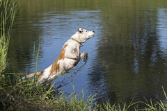 Mixed breed dog diving into a pond Royalty Free Stock Photo