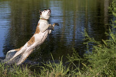 Mixed breed dog diving into a pond Royalty Free Stock Image