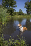 Mixed breed dog diving into a pond Stock Image