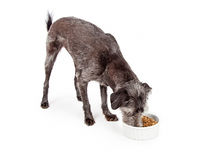 Mixed Breed Dog Eating Kibble Food Stock Photography