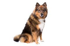 Mixed breed dog Royalty Free Stock Photos