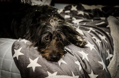 Mixed breed dog with fabulous head hair resting on bed looking at camera Stock Images