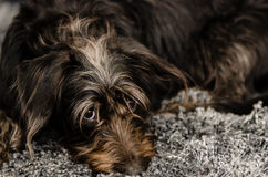 Mixed breed dog with fabulous head hair resting on carpet looking at camera Stock Images
