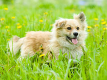 Mixed breed dog in flower field of yellow dandelions Royalty Free Stock Photos